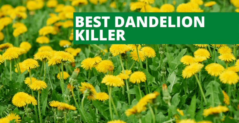 Best Dandelion Killer (2020 Reviews Updated)